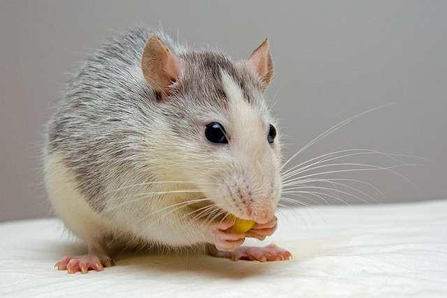 6 méthodes pour se débarrasser des rats
